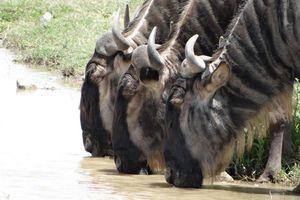 Drinkende gnoes - Serengeti - Tanzania