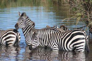 Zebra's in Serengeti