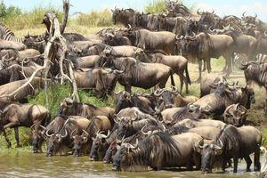 Kudde gnoes in Serengeti - Serengeti - Tanzania
