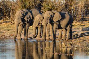 Afrikaanse olifant - Tanzania