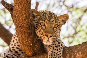 Luipaard - Tanzania