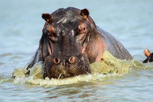 Nijlpaard in Selous - Selous National Park - Tanzania