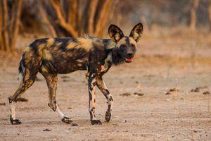 Wilde hond - Tanzania