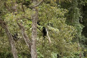 Colobus Monkey in boom  - Rivertrees Inn - Tanzania - foto: Rivertrees Inn