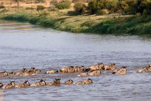 Gnoe's bij Mara under Canvas - Mara under Canvas - Tanzania