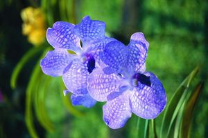 orchidee blaauw - Thailand