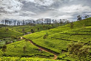 theevelden in hill country - Nuwara Eliya - Ella - Sri Lanka - foto: unsplash