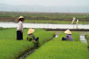 rijstvelden en werkers