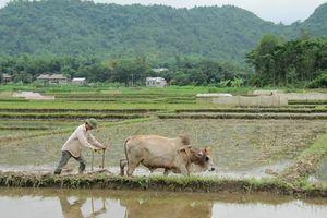 Buffel op een rijstveld in Mai Chau