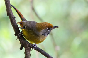 vogel in Doi Inthanon National Park - Thailand