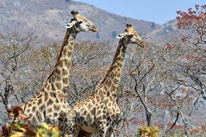 giraffe - Eastern Highlands - Zimbabwe