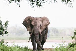 olifant - Gonarezhou National Park - Zimbabwe