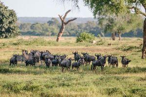 zebra's en gnoe's - Gonarezhou National Park - Zimbabwe