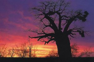 baobab ondergaande zon - zuid-afrika