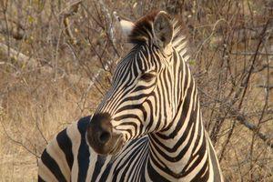 zebra - Balule Game Reserve - Zuid-Afrika