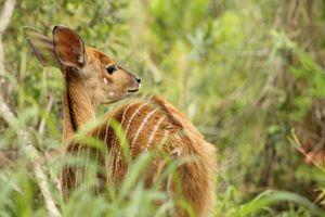 antilope Kruger National Park - Kruger National Park - Zuid-Afrika