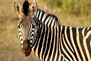 zebra Balule Game Reserve - Balule Game Reserve - Zuid-Afrika
