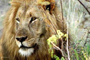 leeuw in Balule Game Reserve - Balule Game Reserve - Zuid-Afrika
