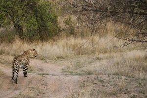 luipaard in Balule Game Reserve - Balule Game Reserve - Zuid-Afrika