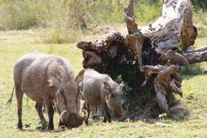 Wilde zwijnen Kololo Game Reserve