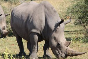 Neushoorn - Welgevonden Game Reserve - Zuid-Afrika