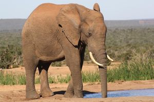 olifant drinkend - Addo Elephant National Park - Zuid-Afrika