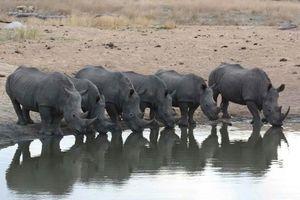 Neushoorn drinkend - Timbavati - Zuid-Afrika