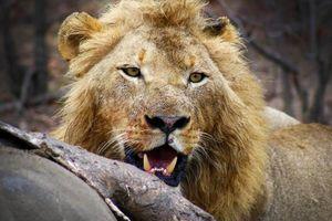 Leeuw met kill - Africa on Foot - Zuid-Afrika