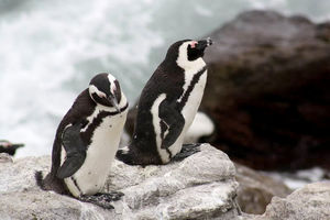 Betty's Bay, pinguins - Pringle Bay - Zuid-Afrika