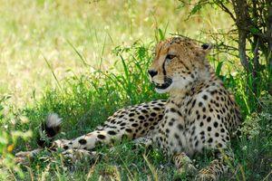 Hluhluwe - iMfolozi cheetah - Hluhluwe - iMfolozi - Zuid-Afrika