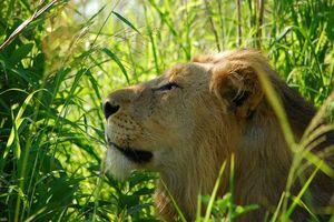 Hluhluwe - iMfolozi leeuw - Hluhluwe - iMfolozi - Zuid-Afrika