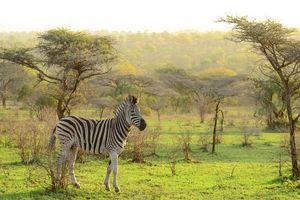 Mkhuze zebra - Mkhuze - Zuid-Afrika - foto: Agent
