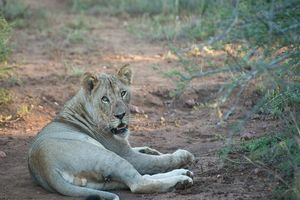 Zululand Rhino Reserve leeuwin - Zululand Rhino Reserve - Zuid-Afrika - foto: Agent