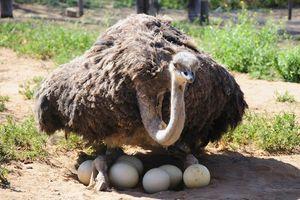 Struisvogel in Klein Karoo - Oudtshoorn - Zuid-Afrika