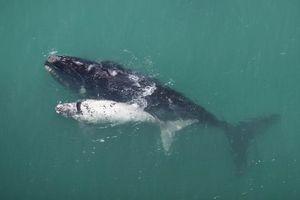 Walvis moeder met kalf - Zuid-Afrika
