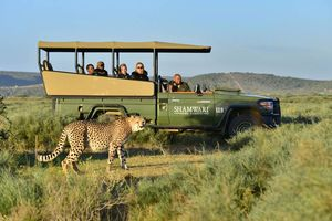 cheetah tijdens game drive in Shamwari Game Reserve - Shamwari Game Reserve - Zuid-Afrika