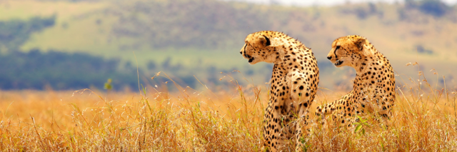 cheetah in savanne - Zuid-Afrika