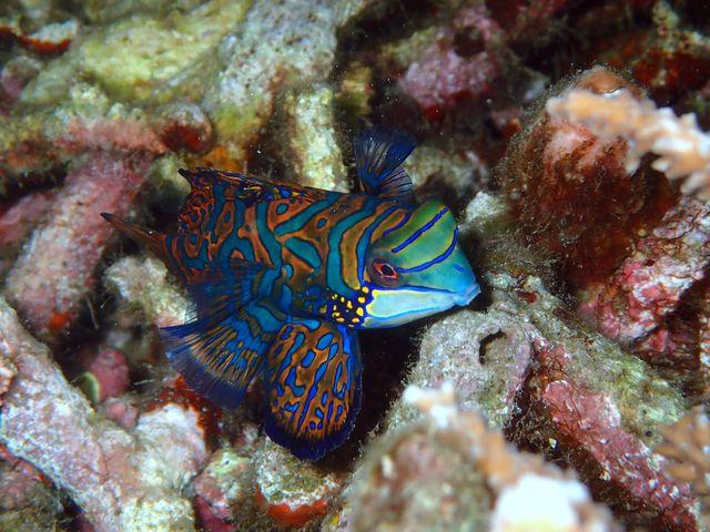 Indonesie - Sulawesi - Manado - mandarijnvis