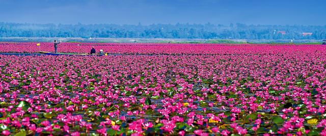 lotusmeer bij Udon Thani - Thailand - copyright: TAT