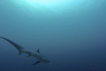 Thresher Shark (voshaai) Malapascua - Filipijnen - Flickr (Maxime Guilbot)